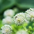 写真: アプローチ/ウドの花 a