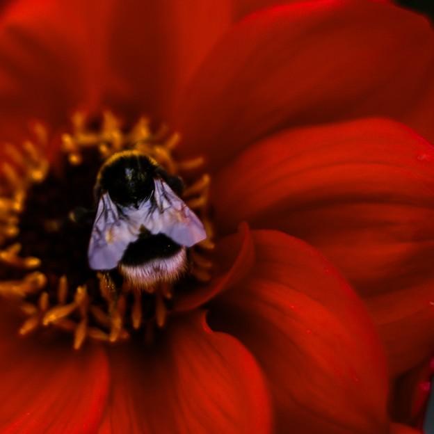写真: Honey-red