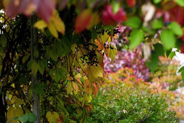 仲秋の庭/蔦色づく