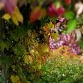 写真: 仲秋の庭/蔦色づく