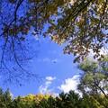 Photos: 紅桜公園/錦秋 5/見上げれば落葉ひらり