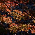 写真: 黄葉から紅葉