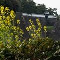 写真: お堀端に咲く