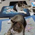 Photos: 我が家の猫様は扇風機前を独占!