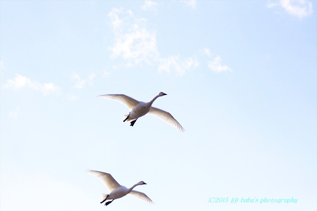 白鳥の詩 飛翔_20150110_14