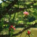 美笹湖の赤と緑とそよかぜと・・・_004