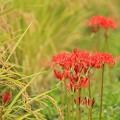 写真: 畦に艶花_1