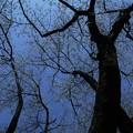 写真: 桜樹