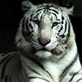Photos: ホワイトタイガ-