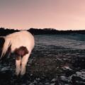 写真: 夜明けの牧場