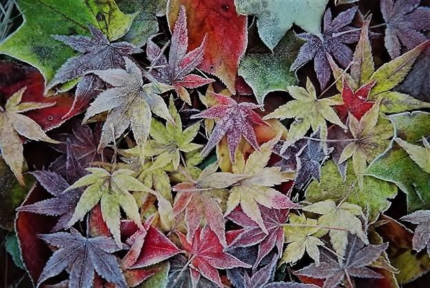 写真: 霜紅葉
