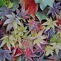 Photos: 霜紅葉