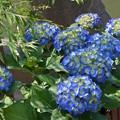 青き紫陽花。