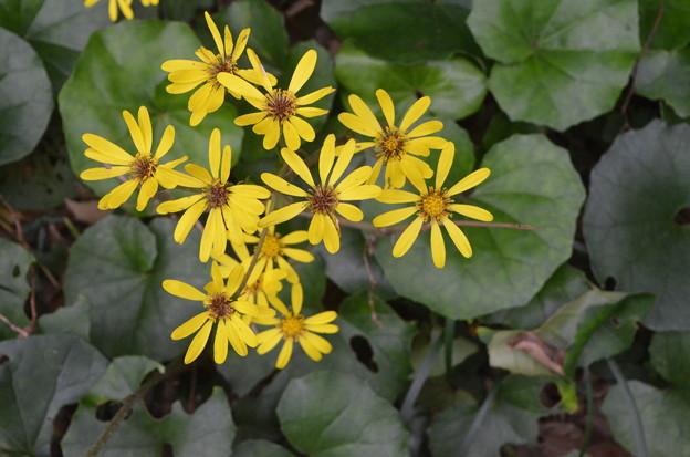 写真: ツワブキの花。