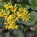 ツワブキの花。