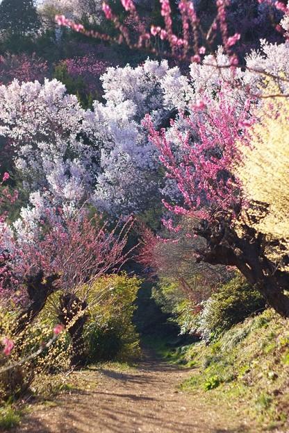 花見山の小径