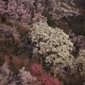 花見山のハクモクレン