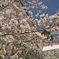 霞ケ城公園の桜
