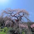 慈徳寺の枝垂桜