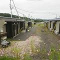 写真: 仮設住宅のコスモス