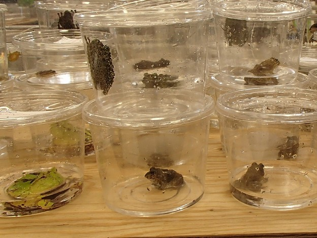 写真: 蛙たち