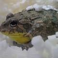 写真: 蛙 1
