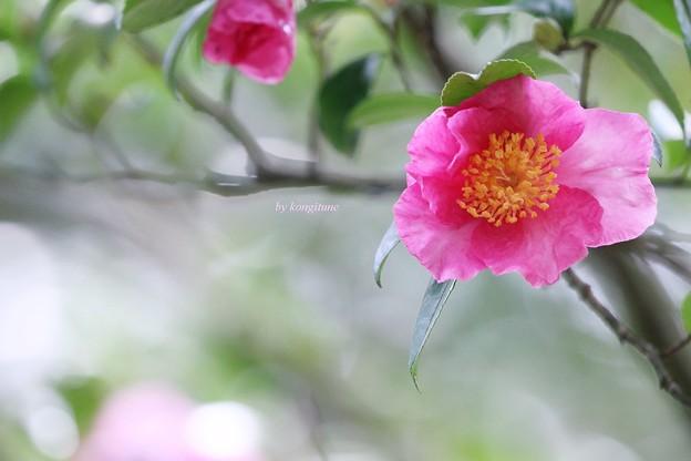 写真: 山茶花の季節