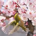 写真: 梅の季節のメジロさん