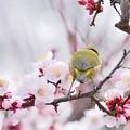 写真: 春の梅の使者
