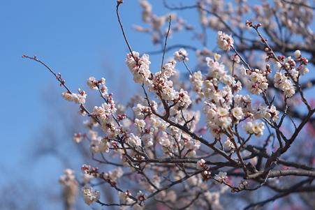 向島百花園 白梅に、淡く色をまじえて