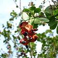 写真: 不明 木の実