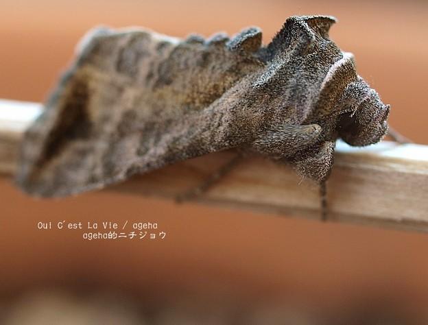 Photos: シャチホコガ科かボクトウガ科かな。