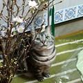 お正月用の桜も買ったし