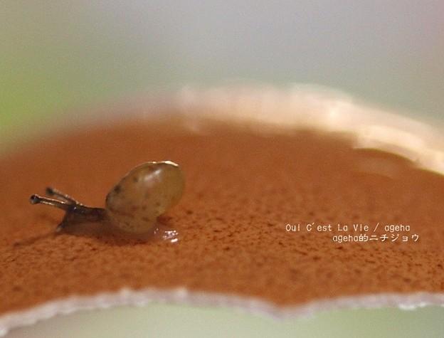 卵の殻がこんなに厚く見える。(カタツムリ飼育)