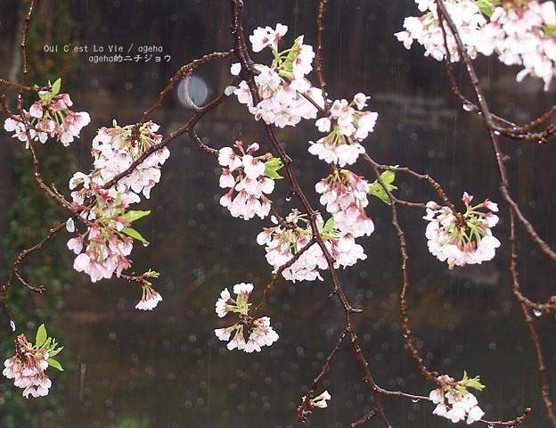 ケの日桜。