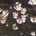 写真: ケの日桜。