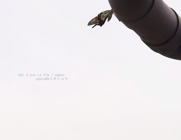 まだ飛べないって。(ナミアゲハ飼育)
