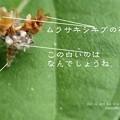 お馴染みクサカゲロウの幼虫です。