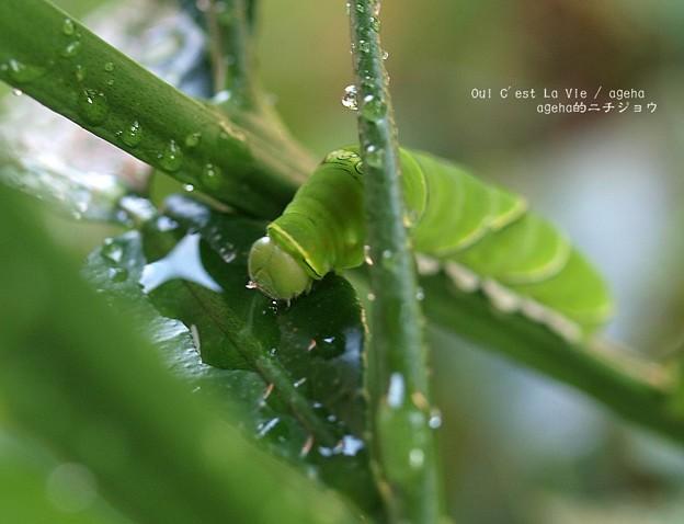 Photos: 喉カラカラ。(ナミアゲハ飼育)