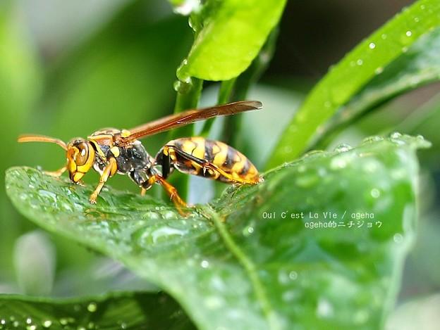 アシナガバチもカラカラ。(クチナシで吸水)