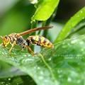 Photos: アシナガバチもカラカラ。(クチナシで吸水)