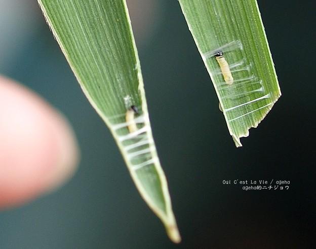 巣糸の幅は決まっているのか。(チャバネセセリ飼育)