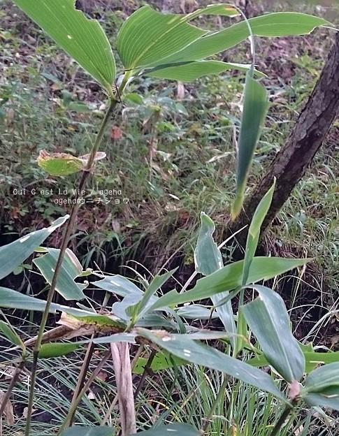 見事な笹三角巣。(オオチャバネセセリ)