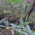 写真: 見事な笹三角巣。(オオチャバネセセリ)