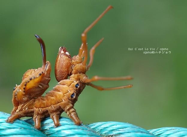 がおー。(バイバラシロシャチホコ 幼虫)