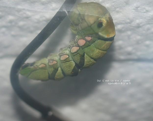 写真: 蛹になるよ。(ナミアゲハ飼育越冬)