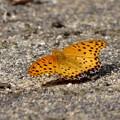 写真: ツマグロ豹紋蝶