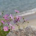 写真: 海辺のコスモス