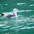 写真: 海猫
