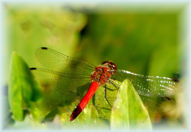 写真: 赤トンボ